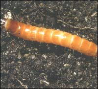 фото грибные черви