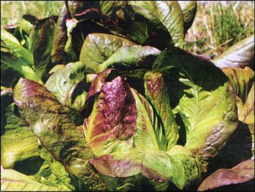 выращивание салата кучерявец одесский: