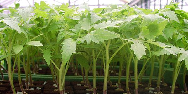 Выращивание рассады томатов 4