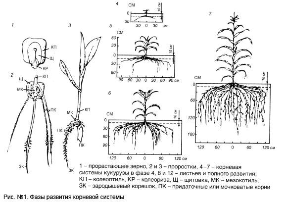 Мочковатая корневая система