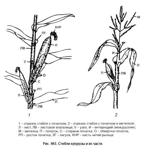 Листья кукурузы состоят из