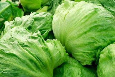 Особенности выращивания салата «Айсберг»