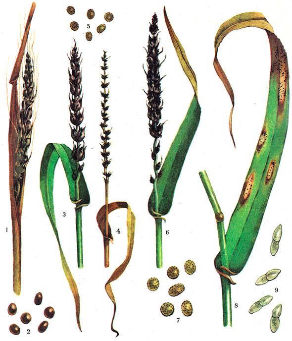 Пшеница и рожь картинка